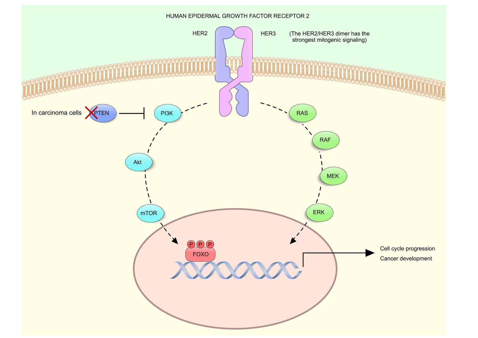 HER2 (human epidermal growth factor receptor 2) – рецептор фактора роста эпидермиса, который может влиять на рост раковых клеток