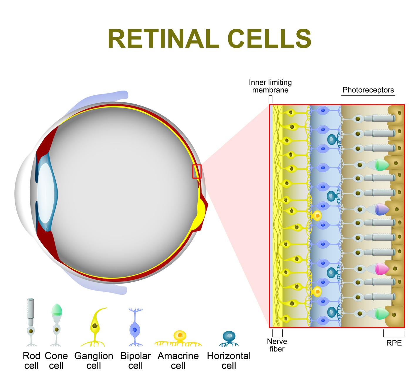 Сетчатка состоит из клеток разного вида